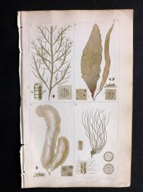 Harvey 1849 Hand Col Seaweed Print. Striaria, Punctaria, Asperococcus, Litosiphon 08